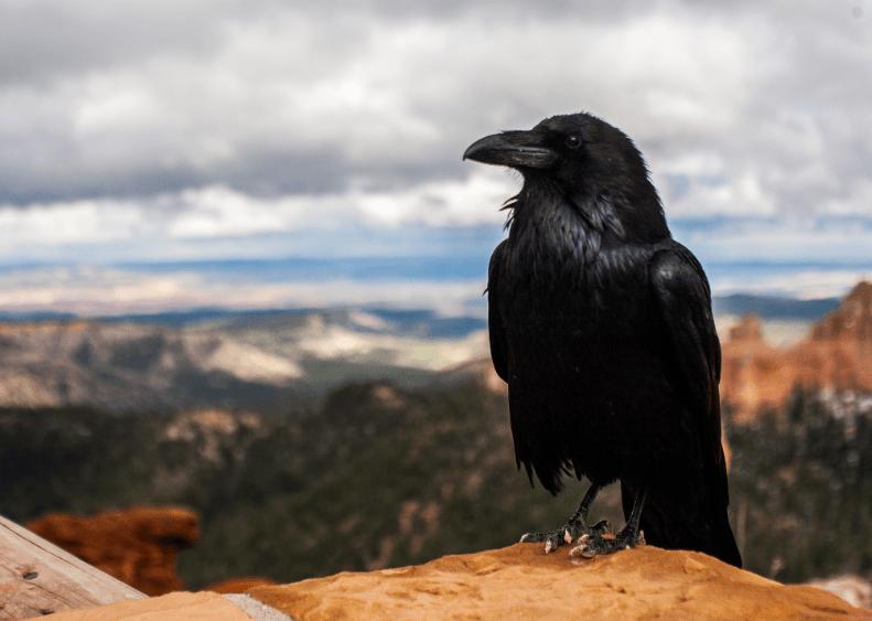 Ravens in Norse Mythology