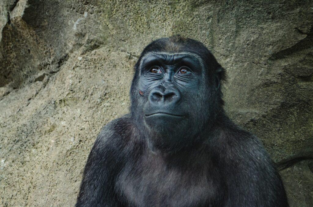 Is it a monkey - Shug Monkey