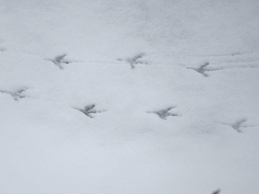 Mahaha hunts in the snow