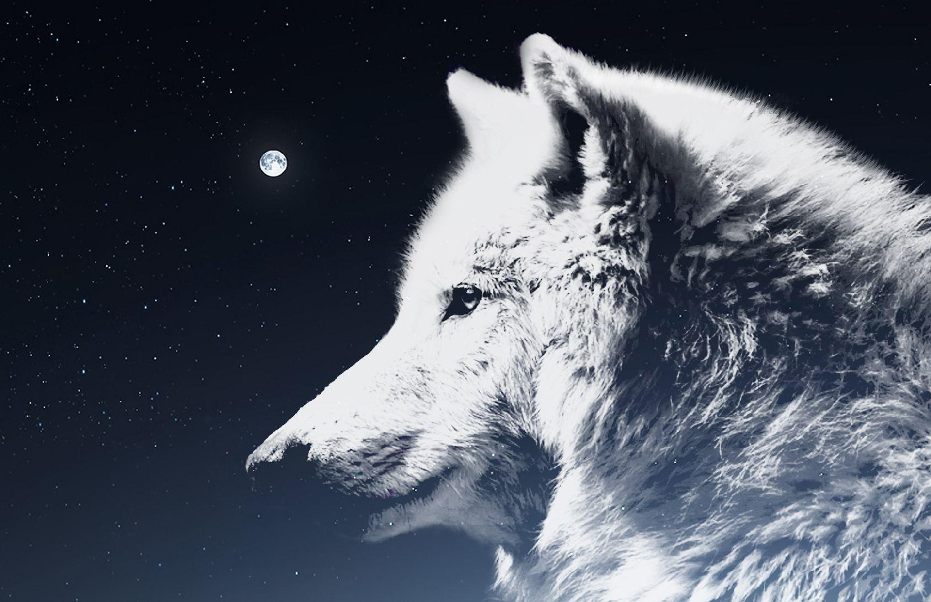 The Amarok Wolf