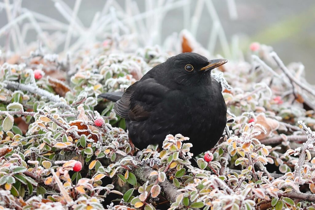 The Oozlum takes its name from the Old English for Blackbird - Osle