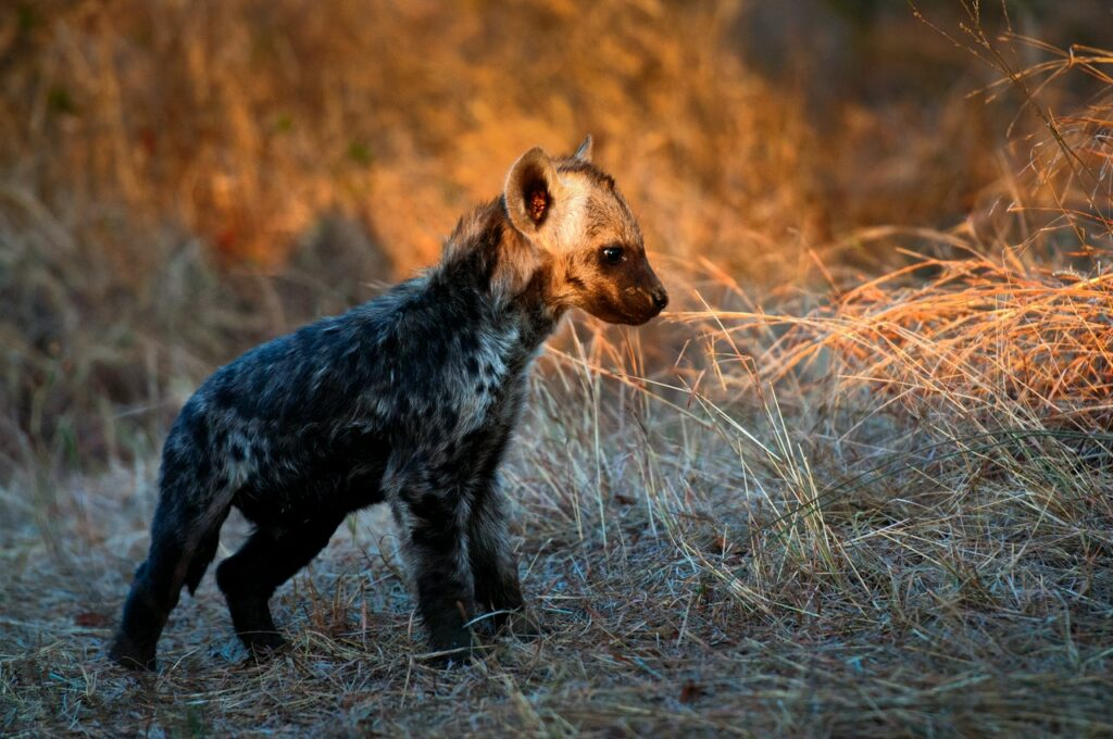 The legend of the crocotta is believed to have come from the spotted hyena