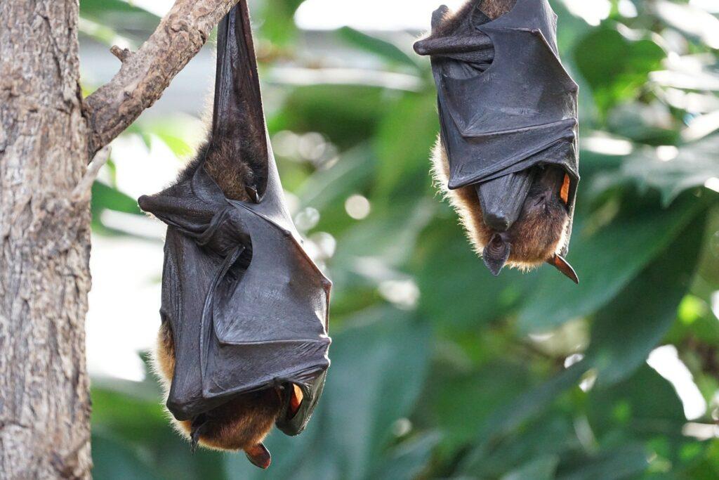Princess Leutogi was the goddes of bats