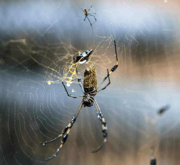 Orb-weaver spiders become Jorogumo if they live to be 400 years old